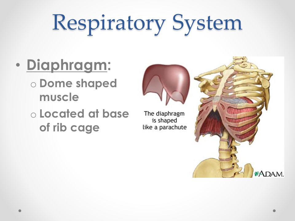 Respiratory System Diaphragm: Dome shaped muscle