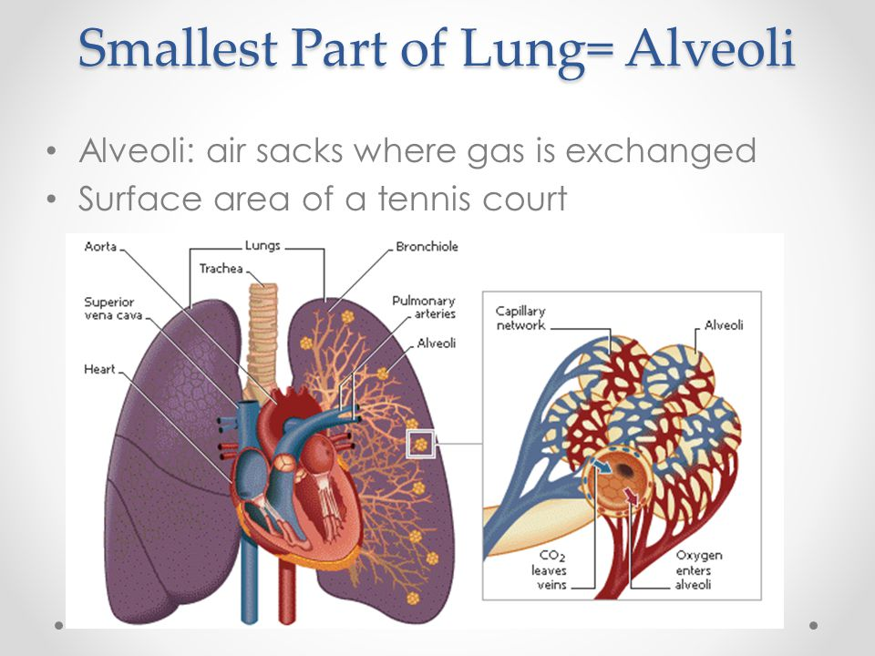 Smallest Part of Lung= Alveoli