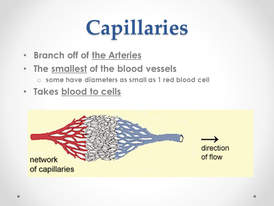 Capillaries Branch off of the Arteries