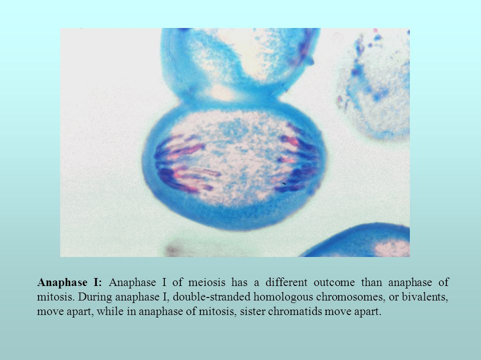 Anaphase I: Anaphase I of meiosis has a different outcome than anaphase of mitosis.