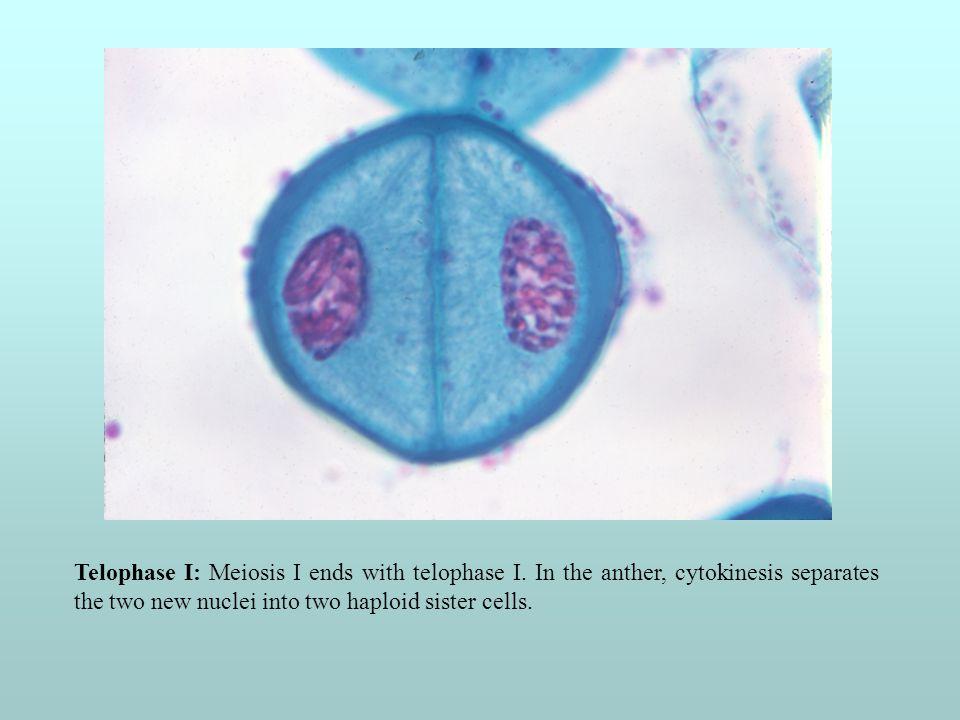 Telophase I: Meiosis I ends with telophase I