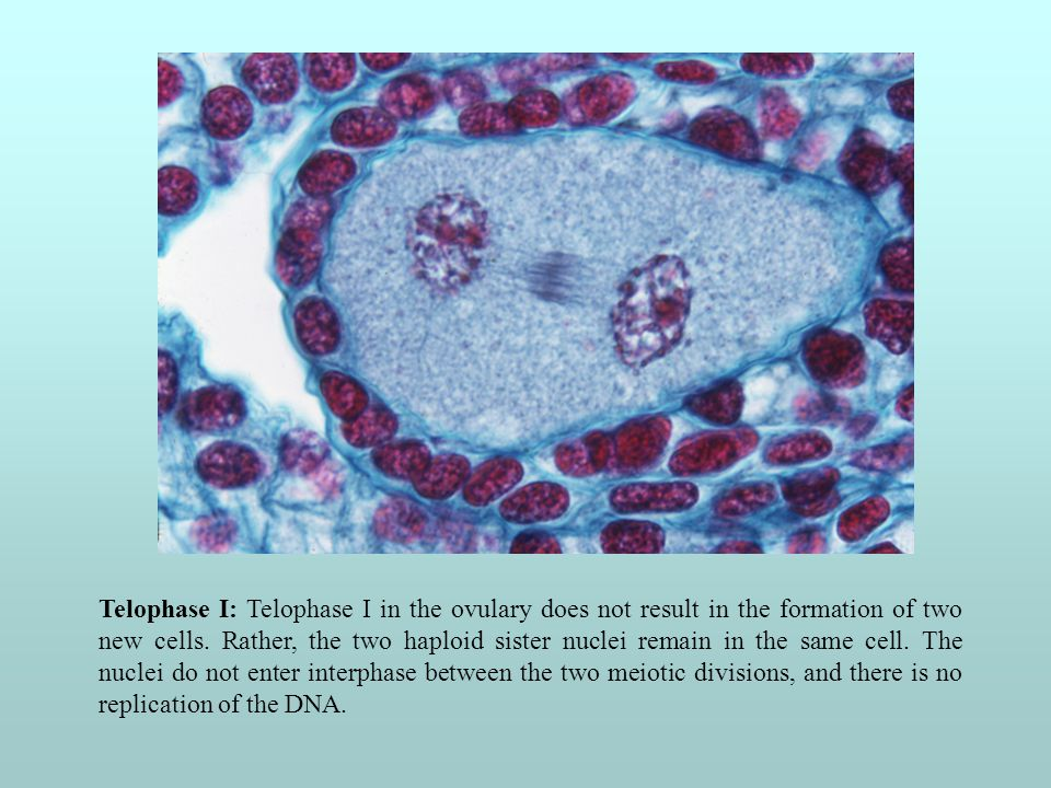 Telophase I: Telophase I in the ovulary does not result in the formation of two new cells.