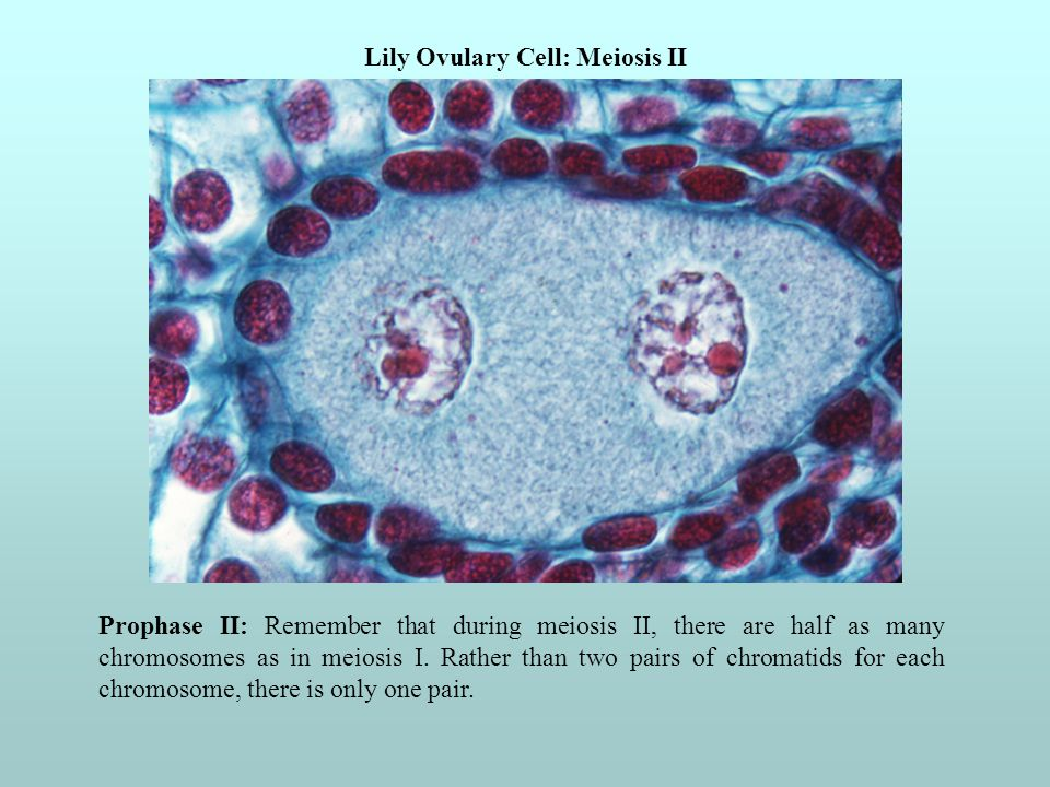 Lily Ovulary Cell: Meiosis II