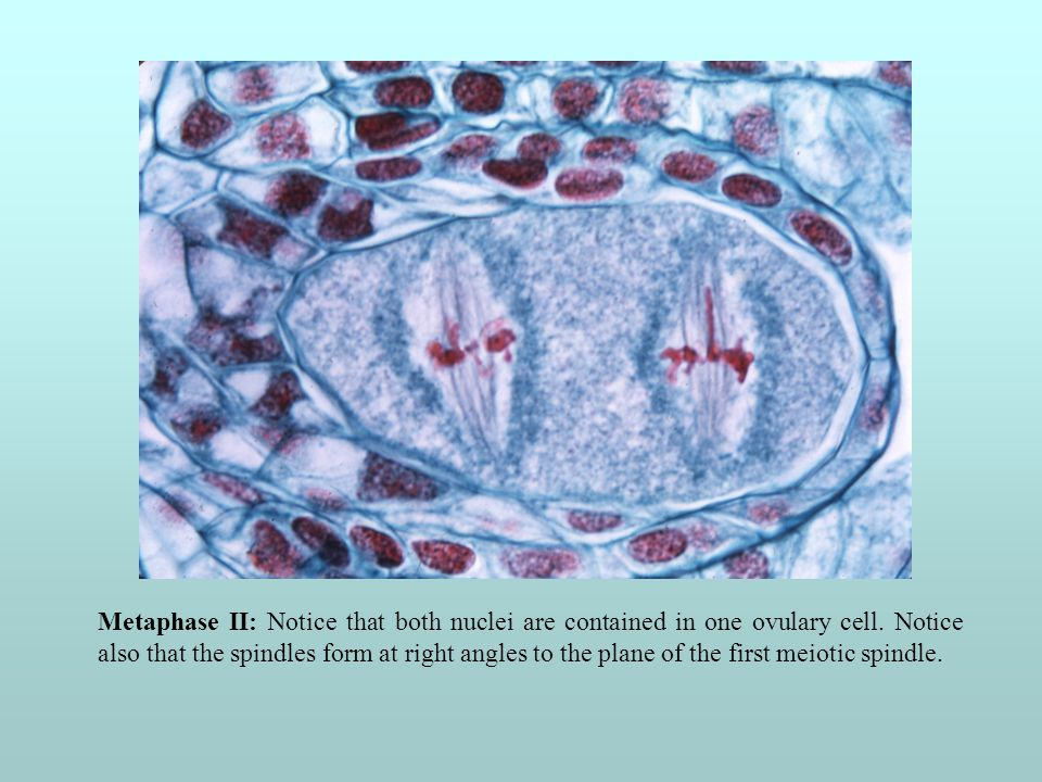 Metaphase II: Notice that both nuclei are contained in one ovulary cell.