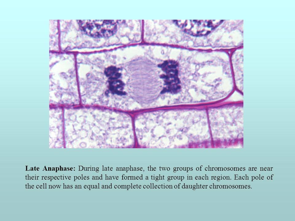 Late Anaphase: During late anaphase, the two groups of chromosomes are near their respective poles and have formed a tight group in each region.