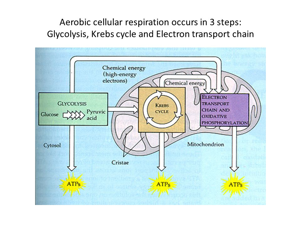 Aerobic cellular respiration occurs in 3 steps: Glycolysis, Krebs cycle and Electron transport chain