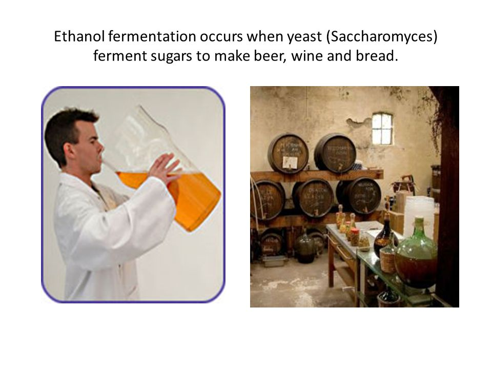 Ethanol fermentation occurs when yeast (Saccharomyces) ferment sugars to make beer, wine and bread.