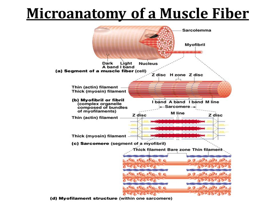 Microanatomy of a Muscle Fiber