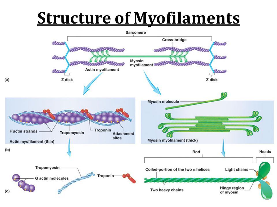 Structure of Myofilaments