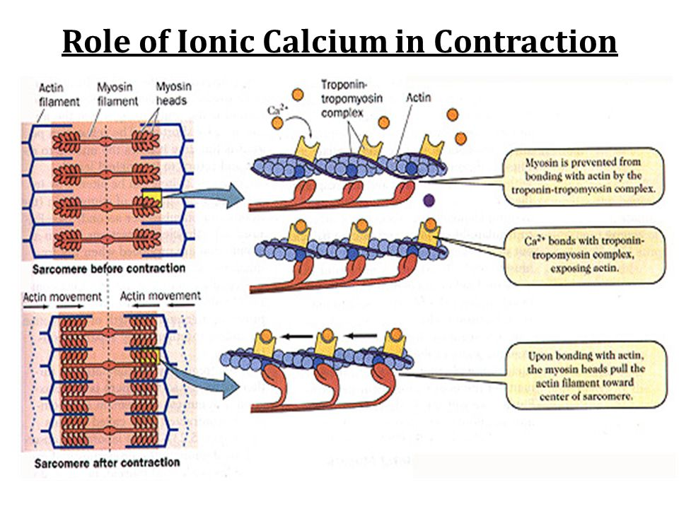 Role of Ionic Calcium in Contraction