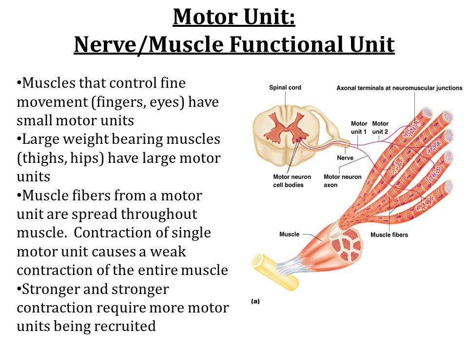 Motor Unit: Nerve/Muscle Functional Unit