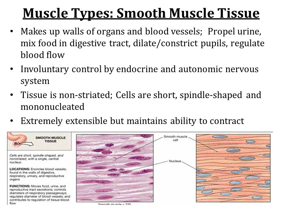 Muscle Types: Smooth Muscle Tissue