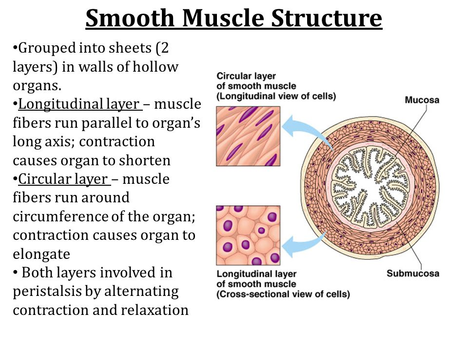 Smooth Muscle Structure