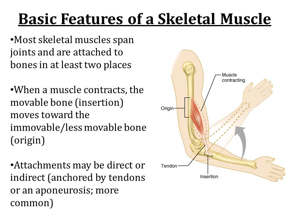 Basic Features of a Skeletal Muscle