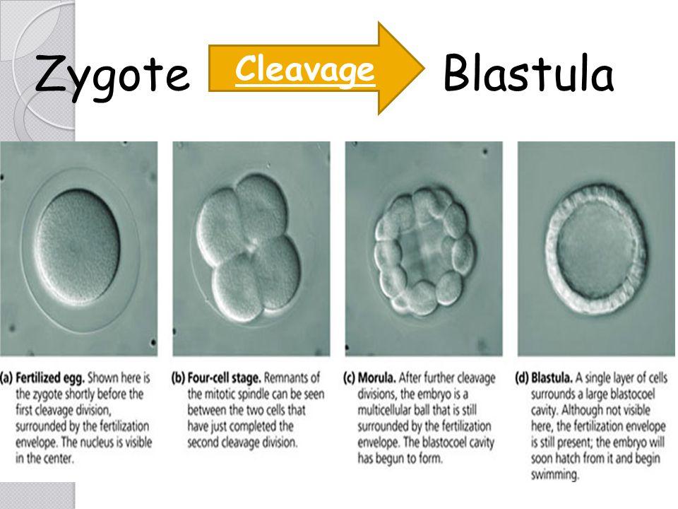Zygote Blastula Cleavage