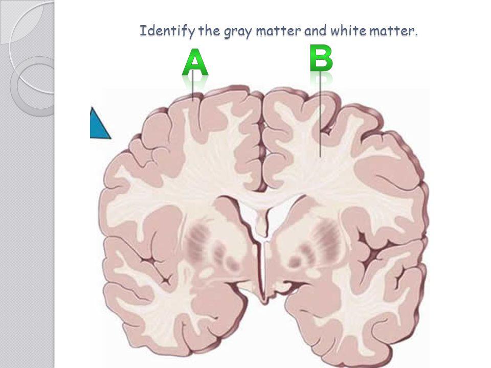 Identify the gray matter and white matter.