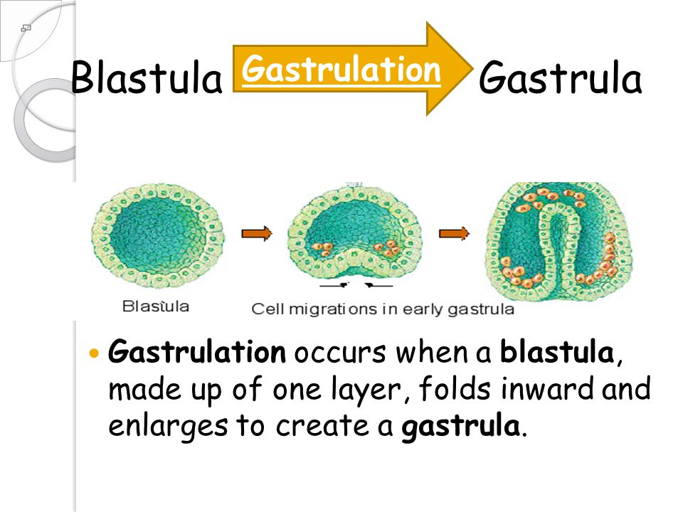 Blastula Gastrula Gastrulation