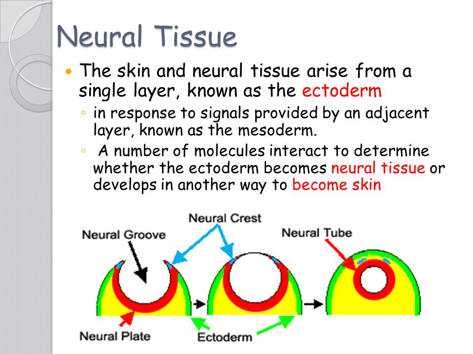 Neural Tissue The skin and neural tissue arise from a single layer, known as the ectoderm.