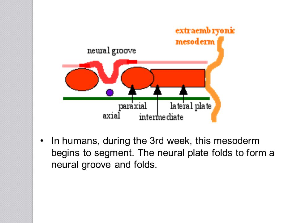 In humans, during the 3rd week, this mesoderm begins to segment