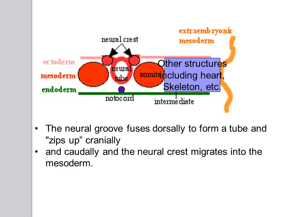 Other structures including heart, Skeleton, etc. The neural groove fuses dorsally to form a tube and zips up cranially.