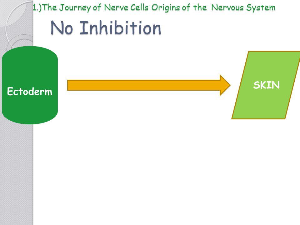 No Inhibition Ectoderm SKIN