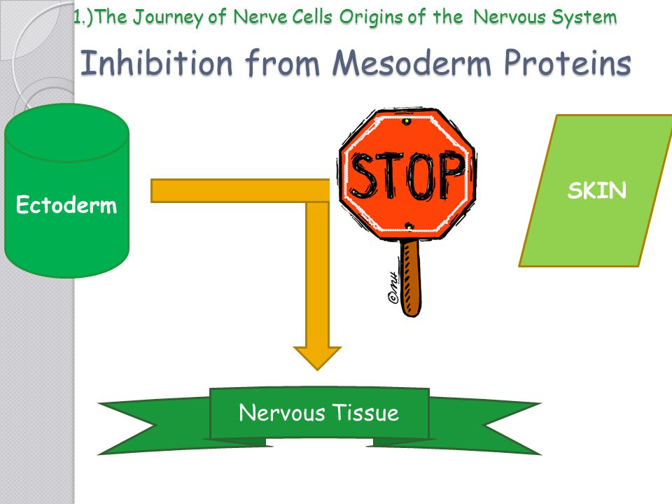 Inhibition from Mesoderm Proteins