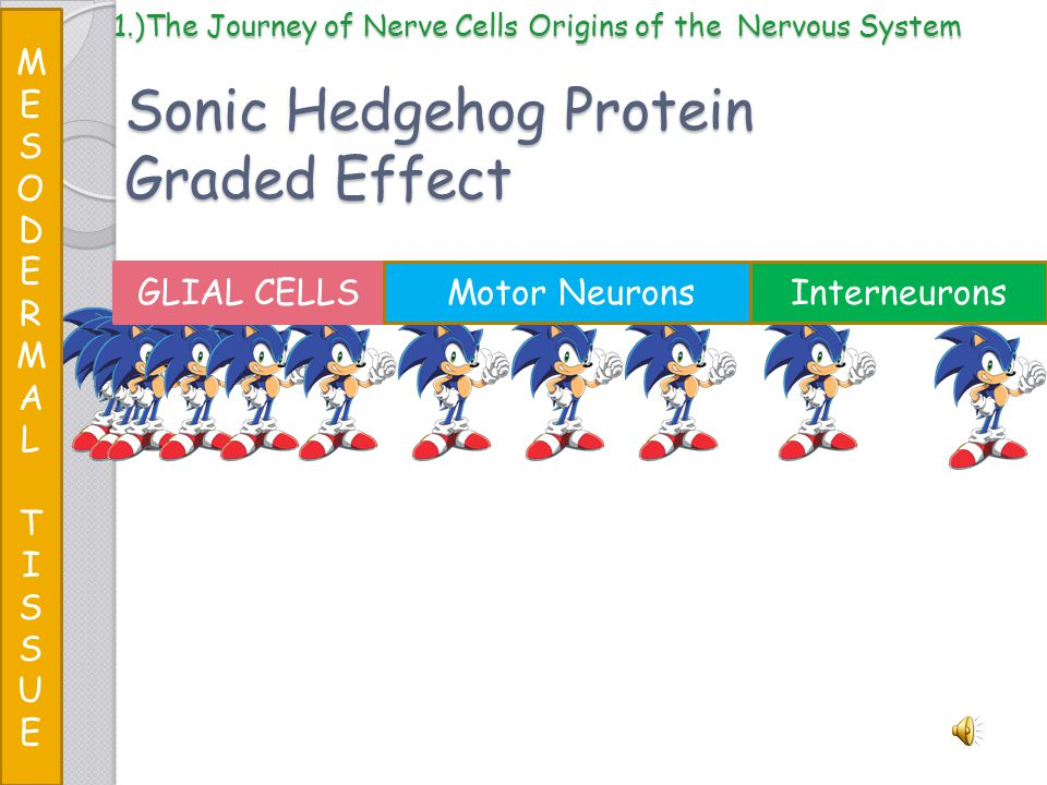 Sonic Hedgehog Protein Graded Effect