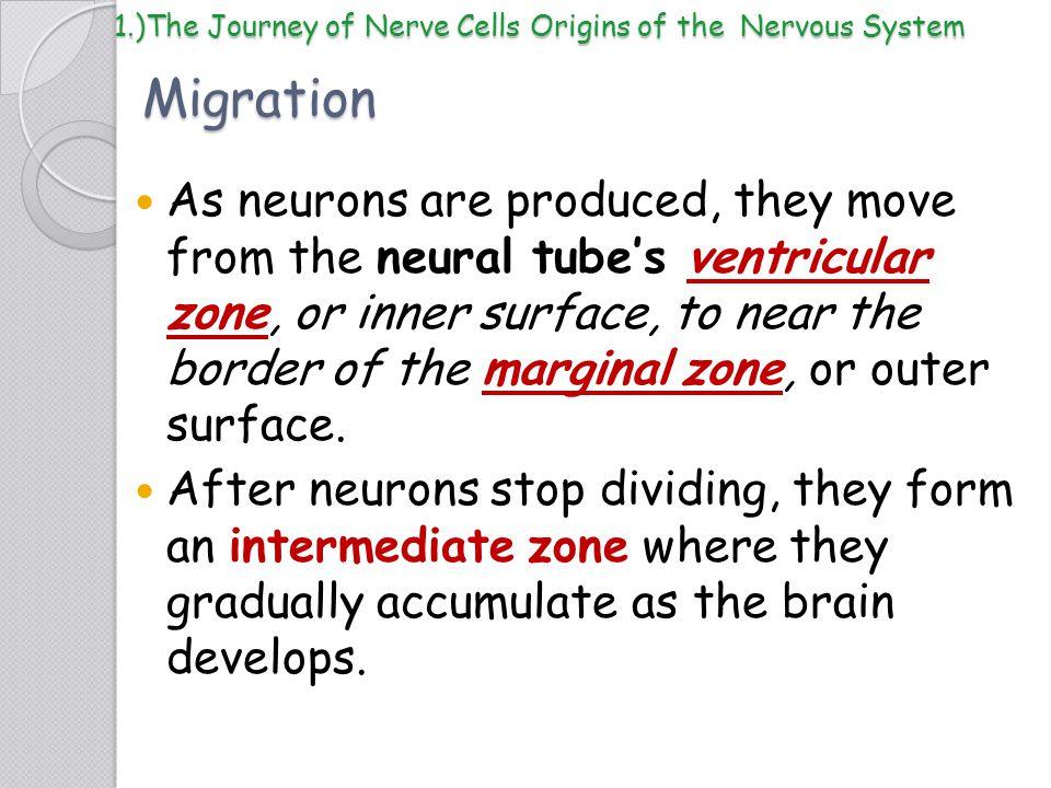 1.)The Journey of Nerve Cells Origins of the Nervous System