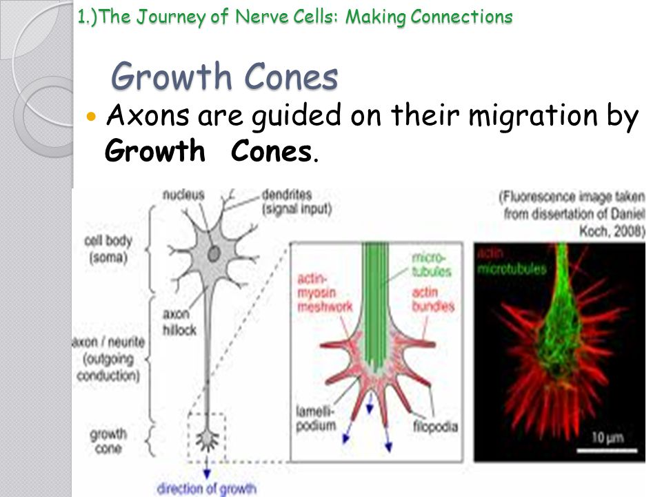 Growth Cones Axons are guided on their migration by Growth Cones.