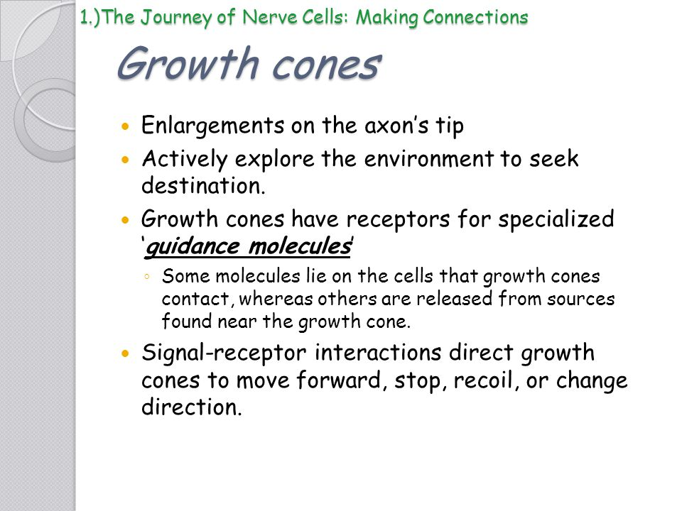 Growth cones Enlargements on the axon's tip