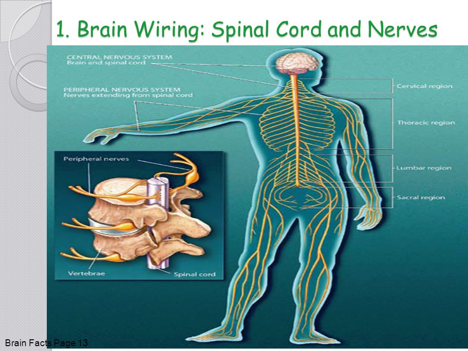1. Brain Wiring: Spinal Cord and Nerves