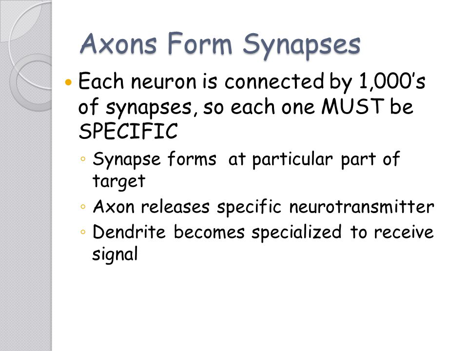 Axons Form Synapses Each neuron is connected by 1,000's of synapses, so each one MUST be SPECIFIC.
