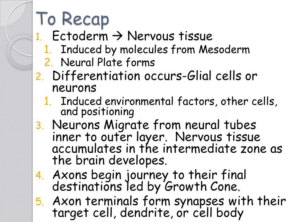 To Recap Ectoderm  Nervous tissue