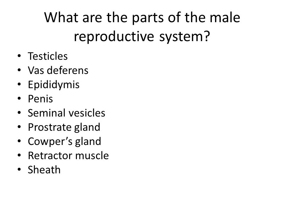 What are the parts of the male reproductive system