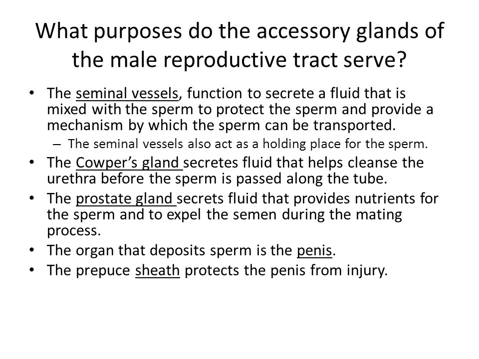 What purposes do the accessory glands of the male reproductive tract serve