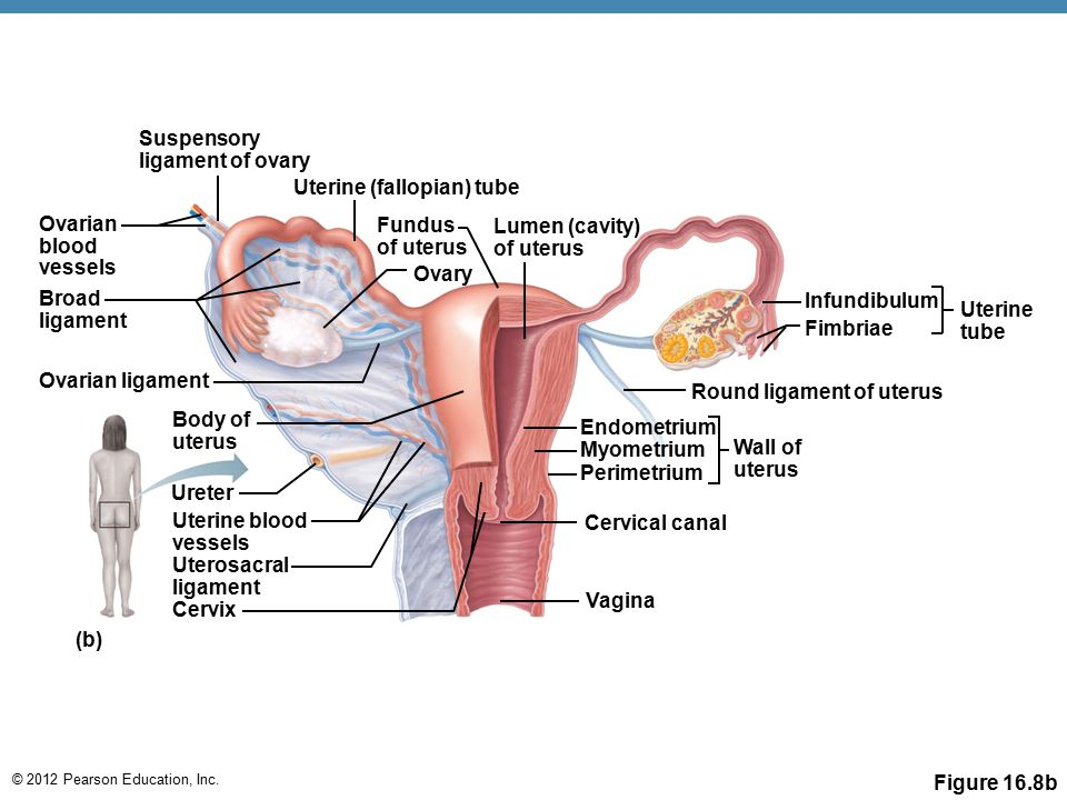 Round ligament of uterus