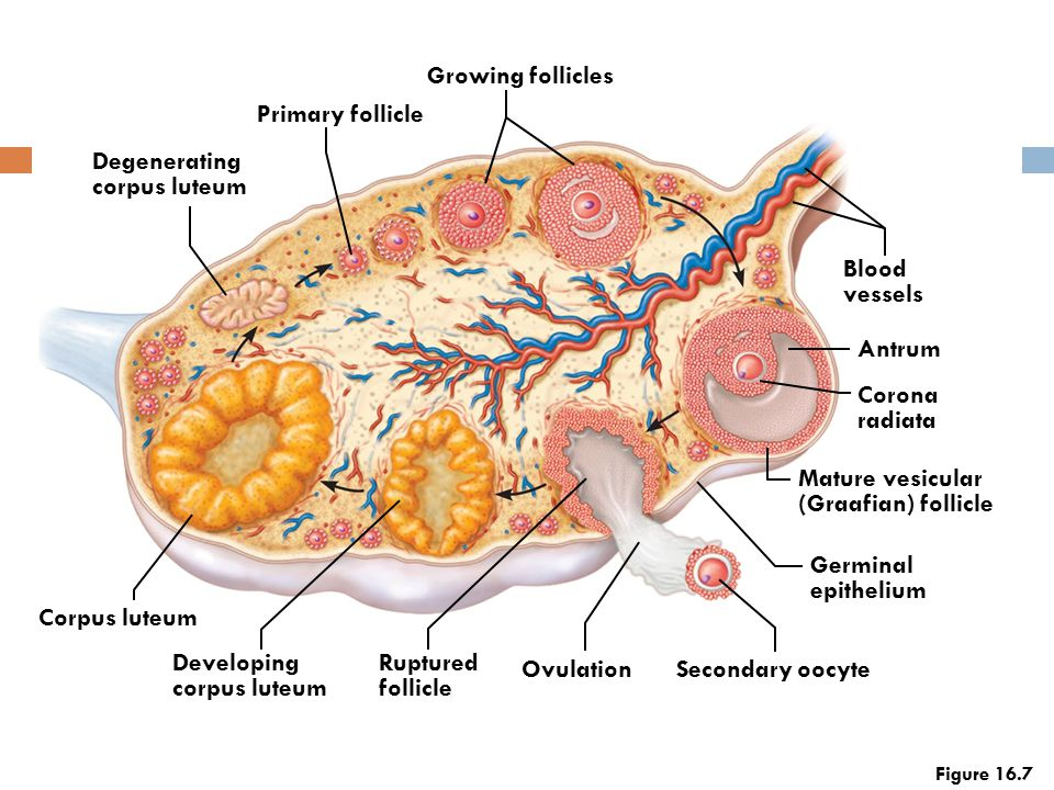 Growing follicles Primary follicle Degenerating corpus luteum Blood