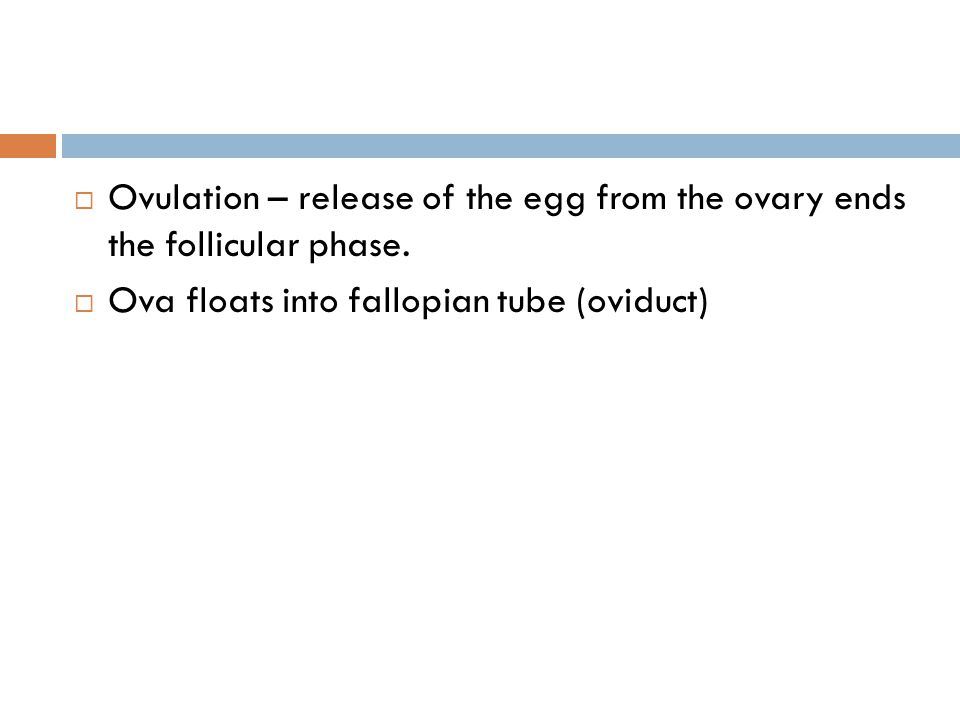Ovulation – release of the egg from the ovary ends the follicular phase.