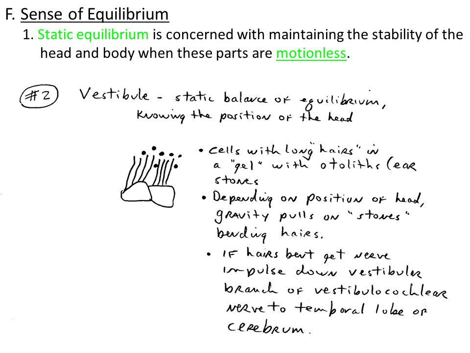 F. Sense of Equilibrium 1. Static equilibrium is concerned with maintaining the stability of the.