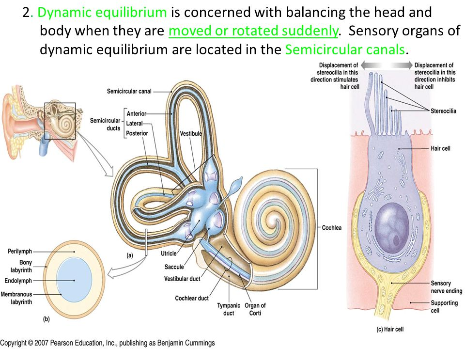 2. Dynamic equilibrium is concerned with balancing the head and