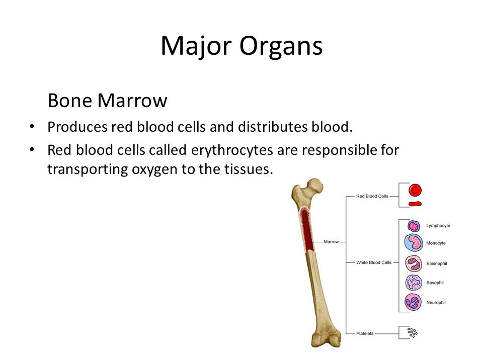 Major Organs Bone Marrow