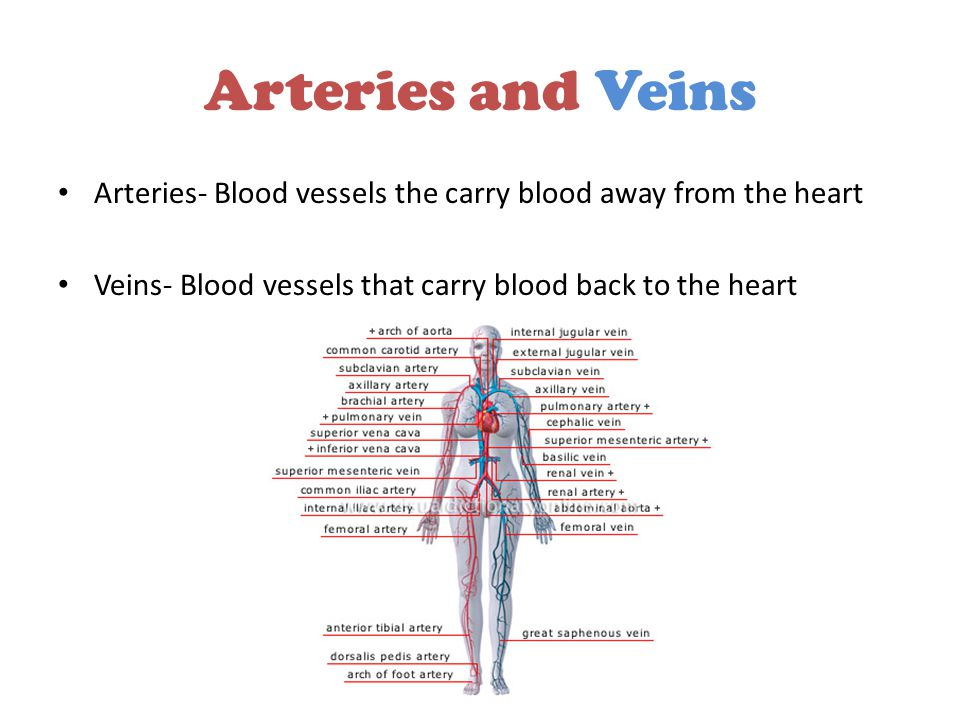 Arteries and Veins Arteries- Blood vessels the carry blood away from the heart.