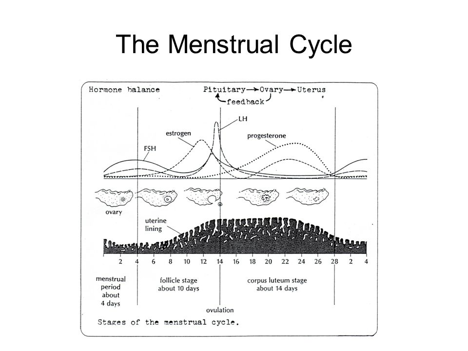 The Menstrual Cycle