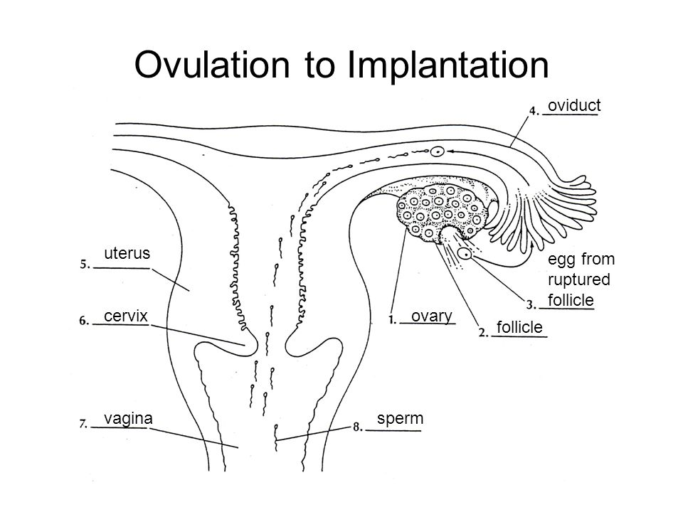 Ovulation to Implantation