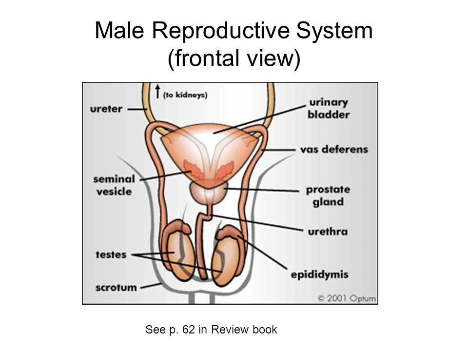 Male Reproductive System (frontal view)