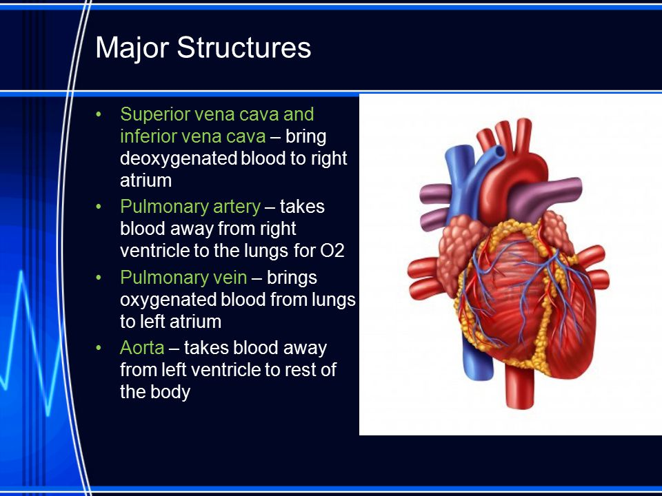 Major Structures Superior vena cava and inferior vena cava – bring deoxygenated blood to right atrium.