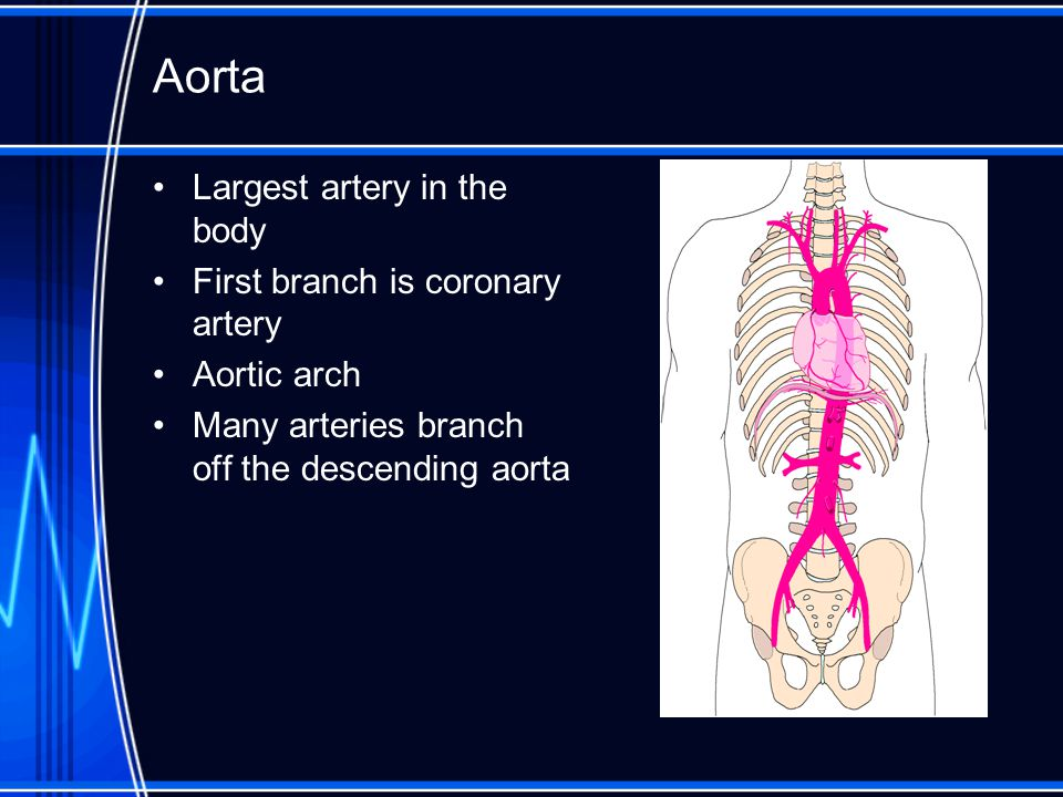 Aorta Largest artery in the body First branch is coronary artery