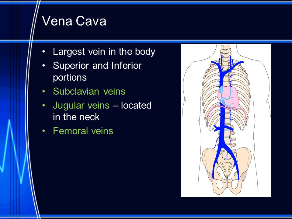 Vena Cava Largest vein in the body Superior and Inferior portions