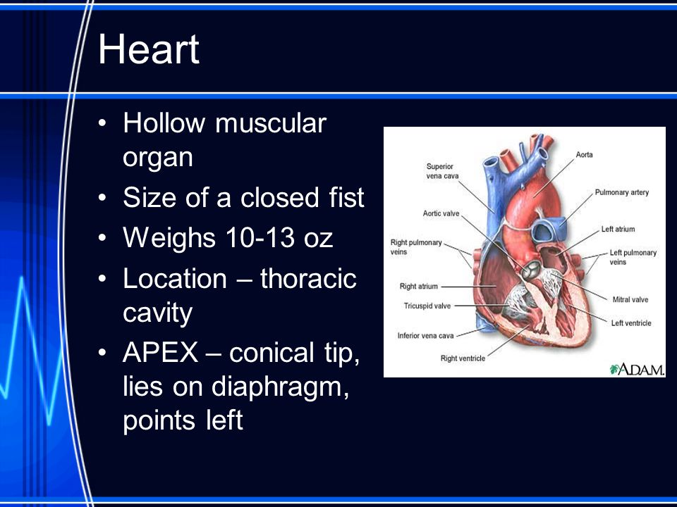 Heart Hollow muscular organ Size of a closed fist Weighs 10-13 oz