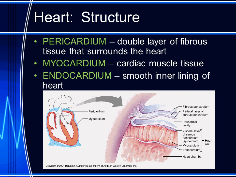 Heart: Structure PERICARDIUM – double layer of fibrous tissue that surrounds the heart. MYOCARDIUM – cardiac muscle tissue.